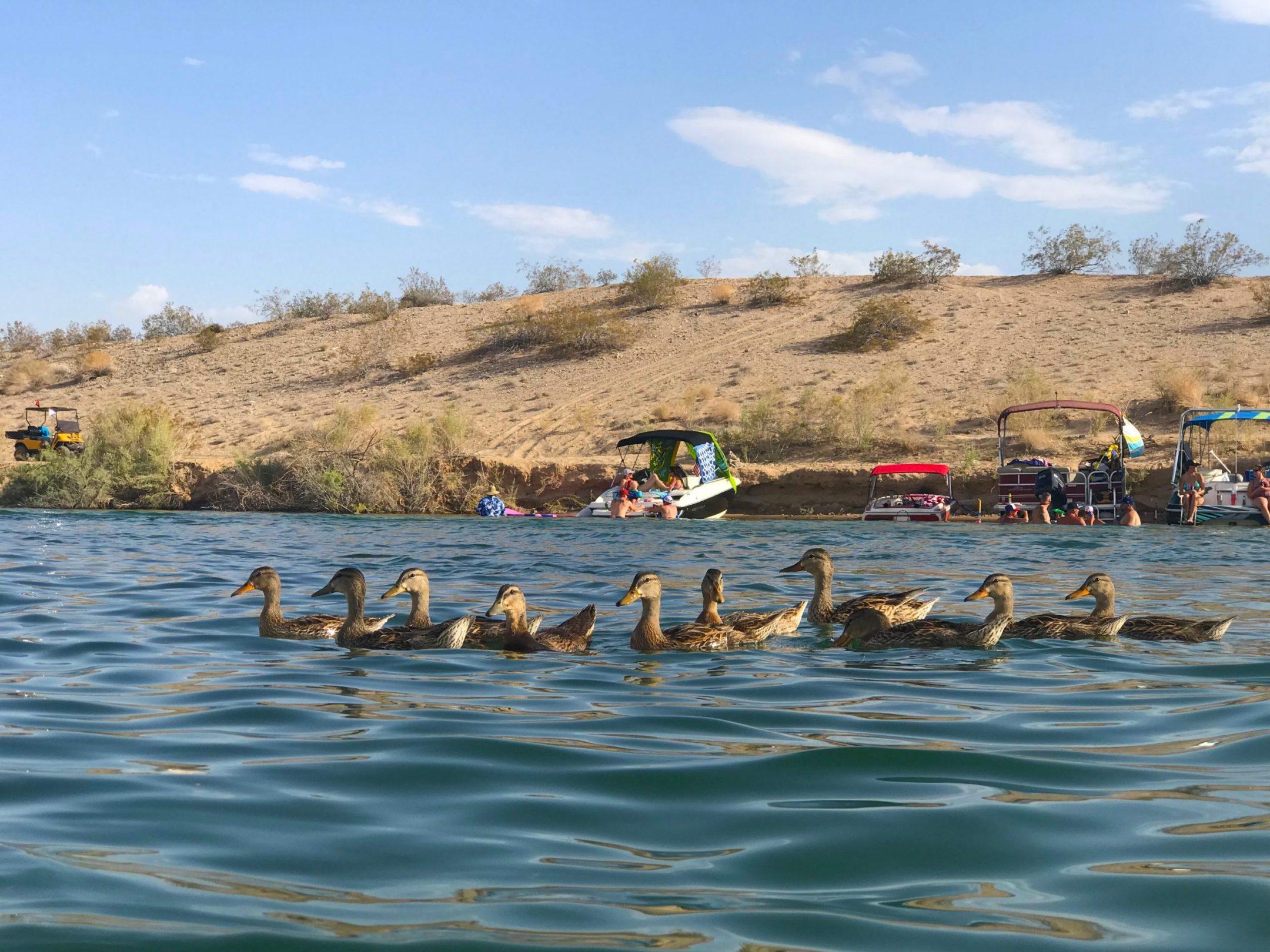 ducks on Lake Havasu
